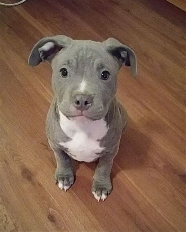 Beautiful Pit puppy.  How could anyone be cruel to that?