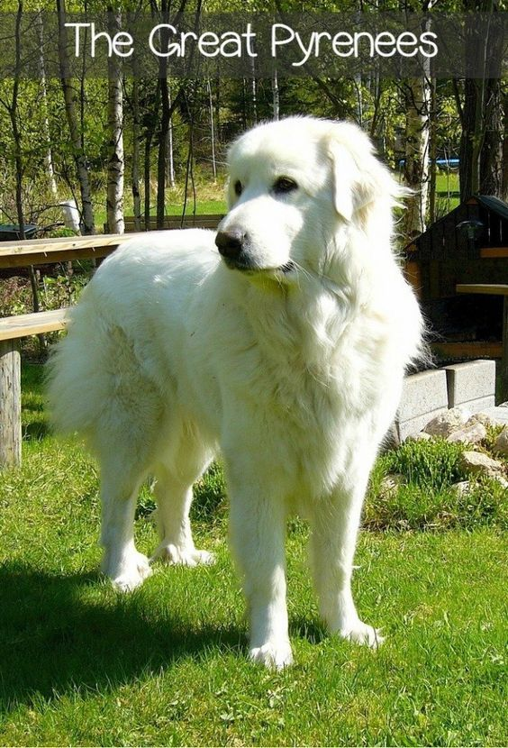 Great Pyrenees dogs make perfect family pets for almost any situation. Great Pyrenees dogs are loving, loyal, and low energy, making them quite adaptable.