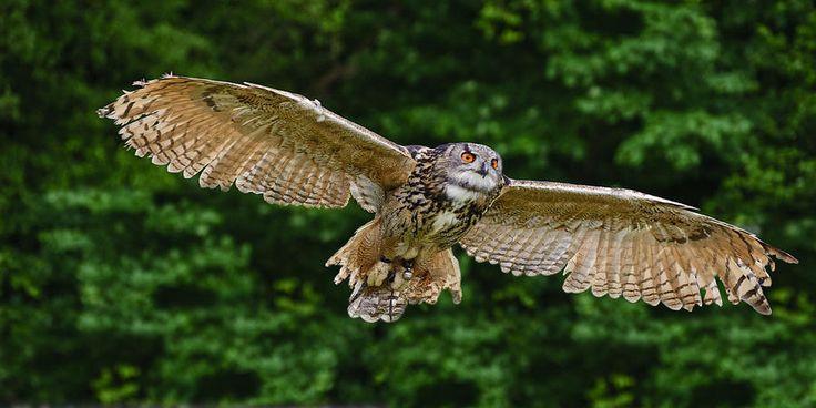 空駆けるフクロウの仲間ヨーロッパワシミミズク