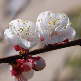 MANDELTRÄD i gruppen Buskar och Träd hos Impecta Fröhandel (4178)