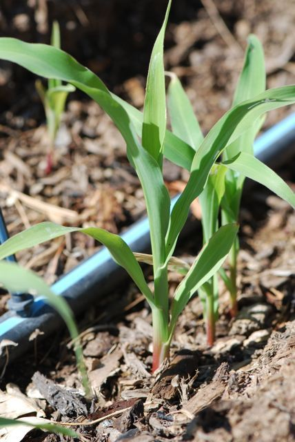 Have your children ever wondered about the crops they have seen growing in fields? Or have they heard recent news stories about how the droughts in certain areas are having an impact on crops? Let'...