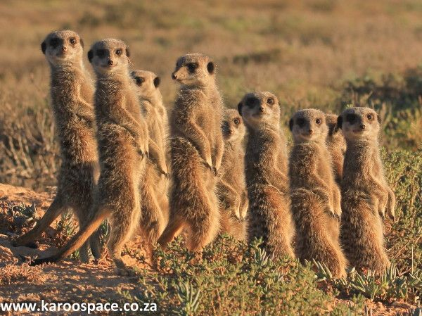 Sharing the sunrise with meerkats on a farm outside Oudtshoorn in the Little Karoo.