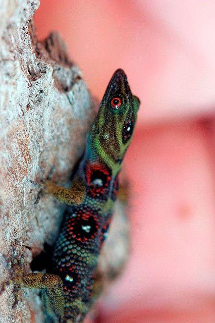 Gonatodes - (Gonatodes daudini) Gonatodes is a genus of dwarf geckos that