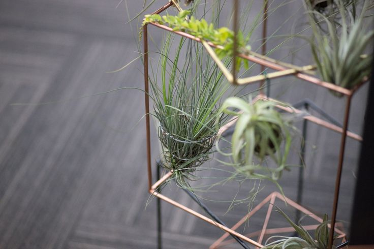 Tillandsia or Air Plants on show at our Kamers stand in Johannesburg.  #tillandsia #airplants