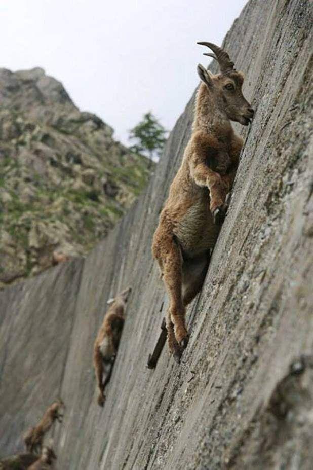 Le bouquetin des Alpes - Spécialité : un grimpeur tout-terrainTrès agile, le bouquetin est un animal des hautes montagnes qui évolue de 500 à 3 000 mètres d'altitude. L'été, cet animal monte aux cols les plus élevés, sur les sommets et les crêtes, en grimpant des parois abruptes grâce à ses sabots. Les bouquetins aiment d'ailleurs passer des heures en équilibre sur des pentes rocheuses et ensoleillées.Voir l'épingle sur Pinterest/ Via rederr.com