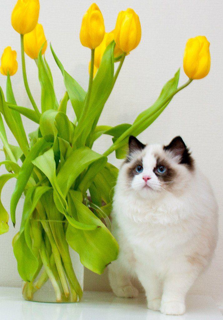 """Фотографии Кошки породы Рэгдолл - Питомник """"JullianneDolls"""" – 27 альбомов"""