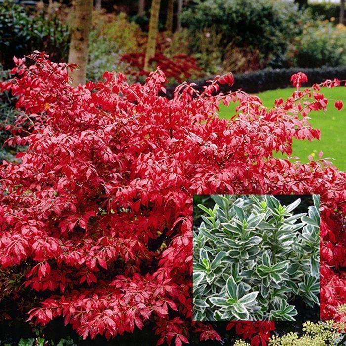 Euonymus alatus Burning Bush - 1 shrub Buy online order ...