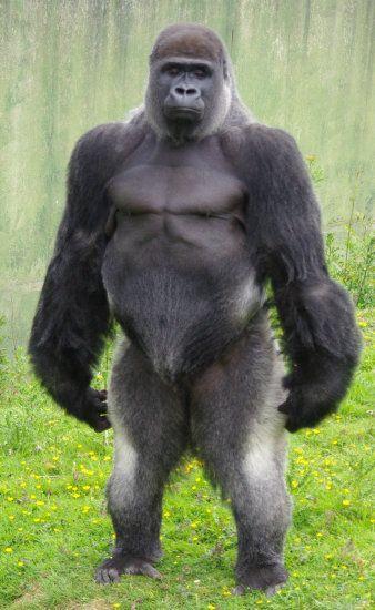 50 best images about Gorillas on Pinterest | Snowflakes, Sport ...