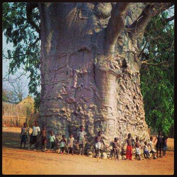Arbol baobab Africa