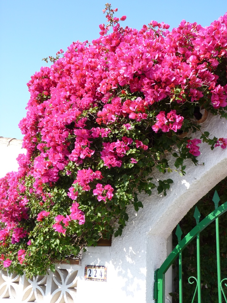 Bouganvilla, I love this cascading everywhere in southern ca