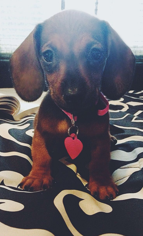 Daschund puppy #puppy #cute #doxie