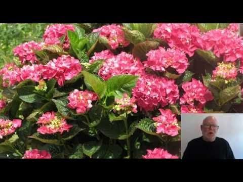 De forskellige hortensie - beskæring og plantning. - YouTube