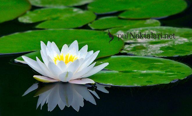 Lotus Çiçeği Faydaları:Lotus çiçeği faydaları nelerdir? Budizm'de, Hinduizm'de, Mısır kültüründe lotus çiçeğinin anlamı nedir? Lotus renkleri ve anlamları.