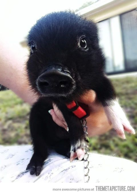 Baby pet piglet… and it's black! @Shannon Bellanca Bellanca Bellanca Kane's favorite color