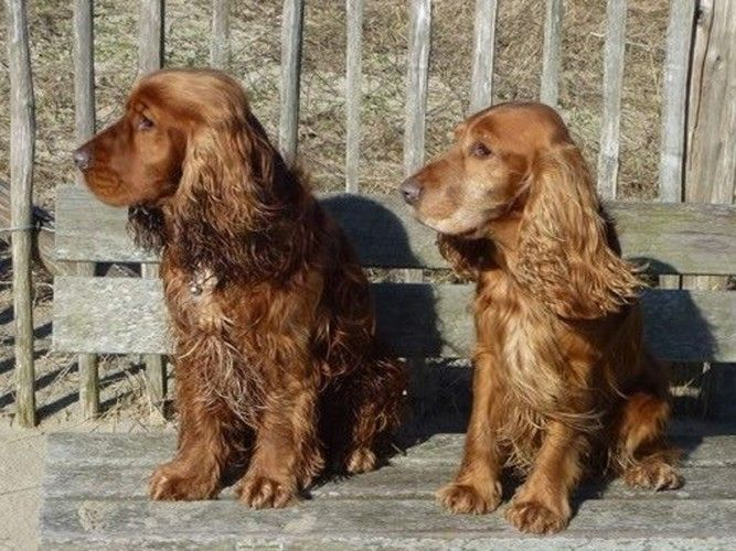 141 best images about English Cocker Spaniels on Pinterest ... Cocker Spaniel 60 Days Pregnant