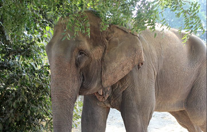 Priyanka, a 44-year-old elephant, is finally experiencing freedom after life in captivity for over 40 years. Through a carefully planned rescue that began over a year ago, Wildlife SOS, with the help of the Forest Department and police, saved Priyanka from continuing a life of abuse for human entertainment. Illegally owned, threatened with bull hooks …
