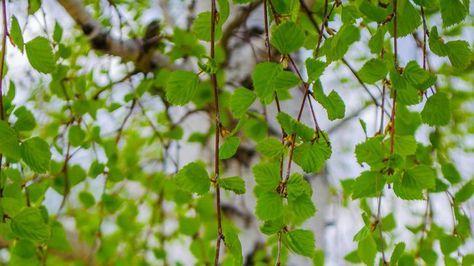 Březové listí organismus čistí