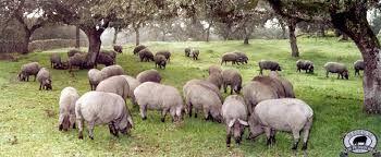 Resultado de imagen para ganado porcino argentino y jamones