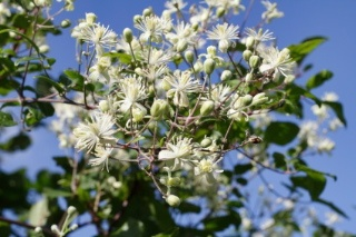 Clematis, Bach Flower Remedy is for dreamers who live in the future and find it difficult to be in their bodies. Helpful for grounding and bringing energy into the present for manifestation. Flower remedy for cancerians.