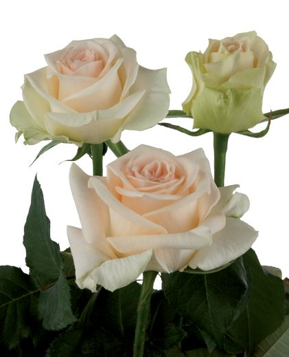 Keepsake - very warm creamy pink rose.  Pink/cream colour is more definite in real life - verging on more of a pink rather than cream rose.