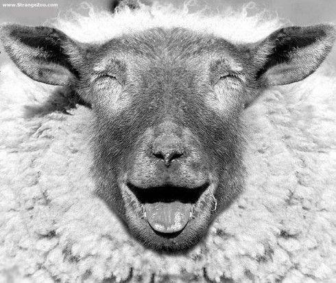 mon ami mouton est mort de rire