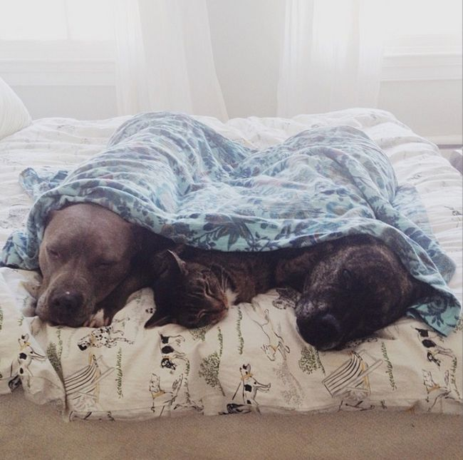 20 Pit Bulls That Know The Best Ways To Cuddle (Photos)