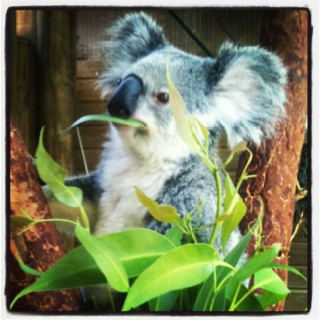 Koala at Blackbutte Reserve near Newcastle.