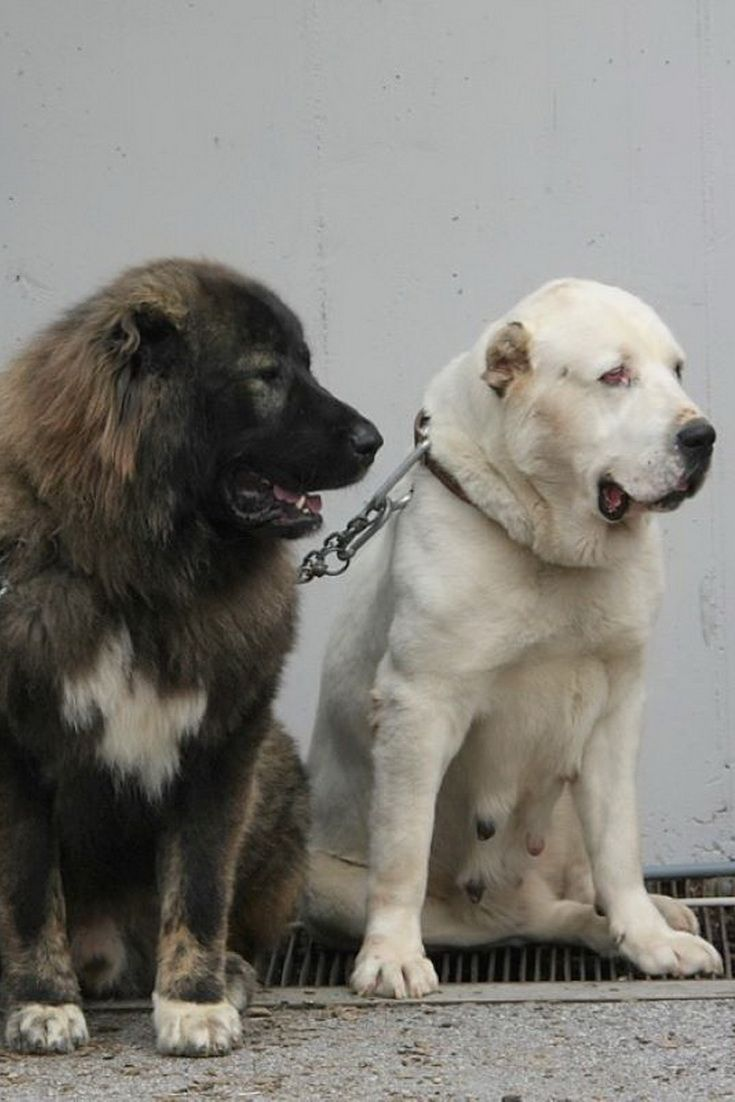 Kangal Vs Central Asian Ovcharka Vs Caucasian Ovcharka Alabai