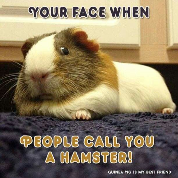 Best Friend Call Quotes: Guinea Pigs
