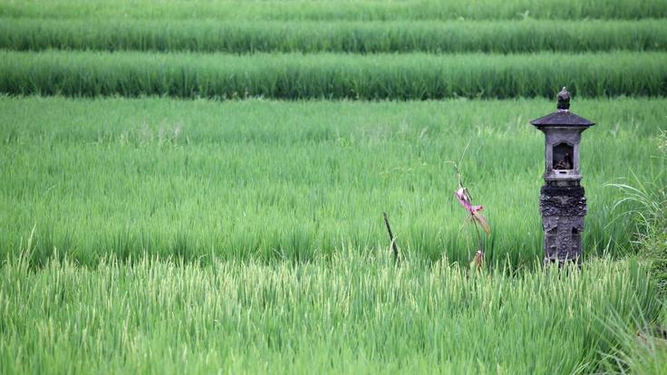Rice paddy fields in Ubud #Bali