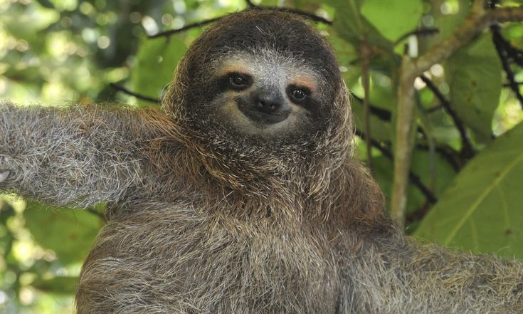 6 different types of sloths in the rainforest with - Amazon rainforest animals wallpaper ...