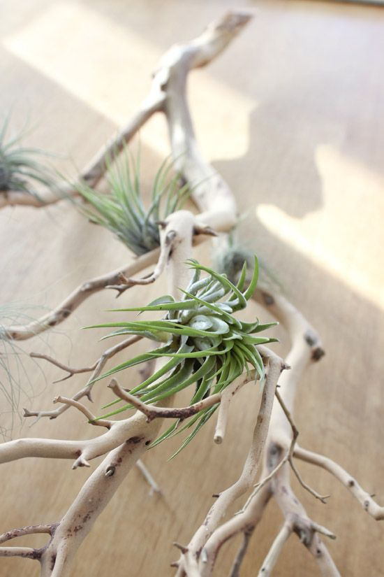 airplants on driftwood