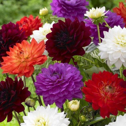 Dahlia Bulbs Karma Mix Hibiscus Flower Seeds Flowers Flower Pots