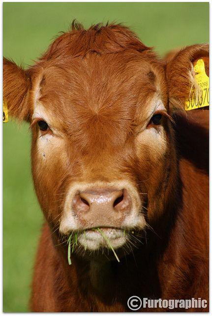 Cows make me so happy!