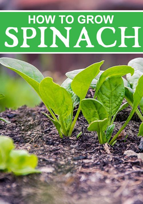 How To Grow Spinach The Right Way  – Home and Garden