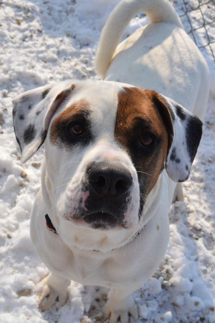 Adopt bruiser ii on petfinder dog adoption basset hound