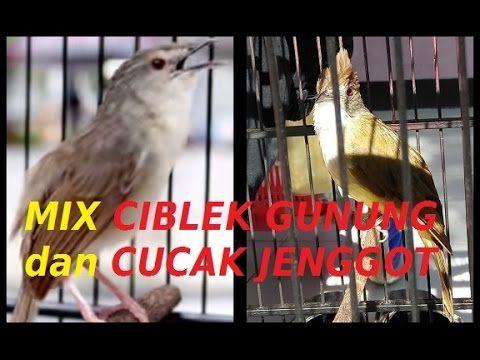 Burung Masteran Kacer,Cendet,Cucak Ijo,Kolibri Ninja,Murai Batu:Mix Ciblek Gunung dan Cucak Jenggot