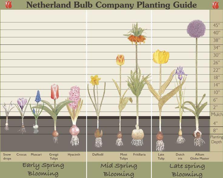How Deep Should I Plant My Fall Bulbs Garden Charts Pinterest Gardens Summer Bulbs And