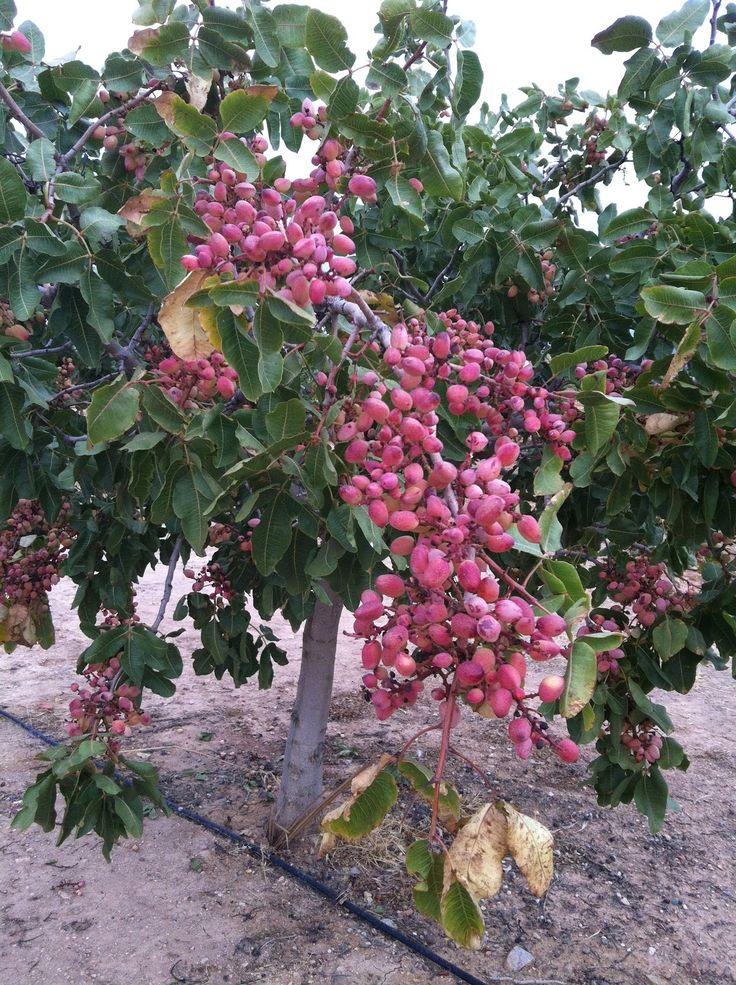 Reserva de planta injertada pistacho online  https://iberopistacho.com/area/planta-injertada  #pistacho #iberpistacho #planta #injertada