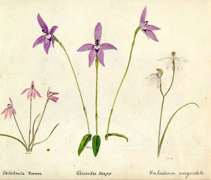 Flower painting of native orchids, Caladenia turnea, Glossodia major and Caladenia angustata by William Lewis May (1861-1925)