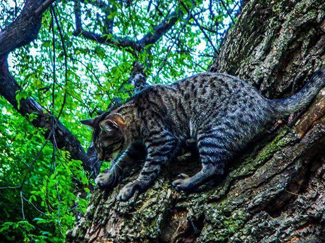 #cat #wild #wildcat #Tomescu
