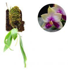 Phalaenopsis Bellina Rp 195,000