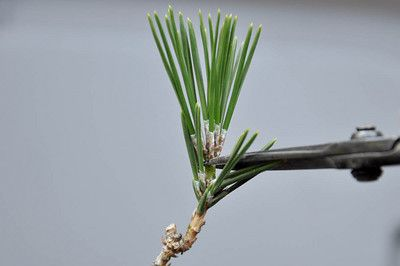 What is decandling? - link-Decandling refers to a set of cultivation techniques that focus on the removal of spring growth from red or black pines to stimulate a second flush of growth in summer.