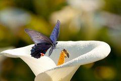 White Calla Lilies Stock Image