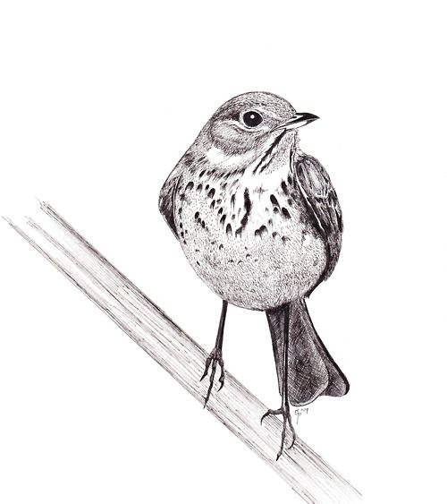 17 Best images about Ink on Pinterest | Bird drawings ...