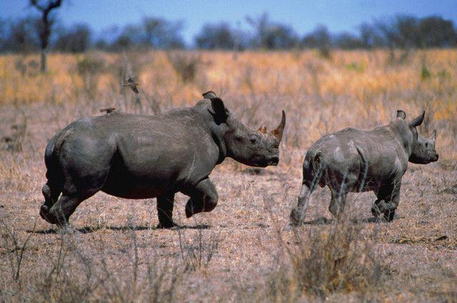 Hindari Perburuan, Otoritas Satwa Liar Zimbabwe Potong Tanduk Badak
