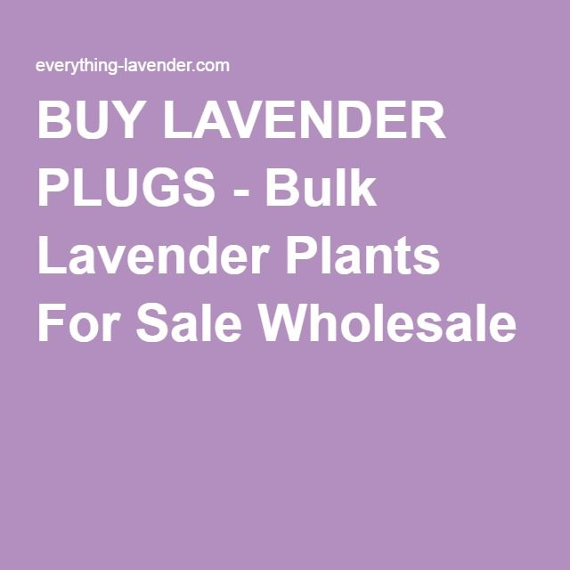 BUY LAVENDER PLUGS - Bulk Lavender Plants For Sale Wholesale