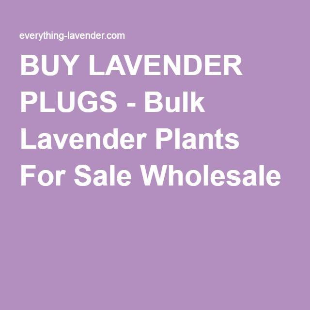 BUY LAVENDER PLUGS - Bulk Lavender Plants For Sale Wholesale