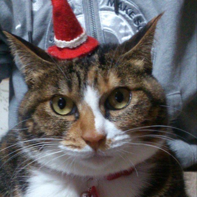 何処にいても、どんな過ごし方をしていても、僅かでもいつもより楽しい1日でありますように! メリークリスマス\(*^∇^*)/ #三毛猫 #美猫 #花貓 #愛猫 #猫 #ねこ #ネコ #猫の喉鳴らし #三花貓 #貓 #メリークリスマス #クリスマスイブ #christmas #xmas #present #xmasparty #christmaseve #christmastime #christmasparty #耶誕快樂 #聖誕快樂 #聖誕節