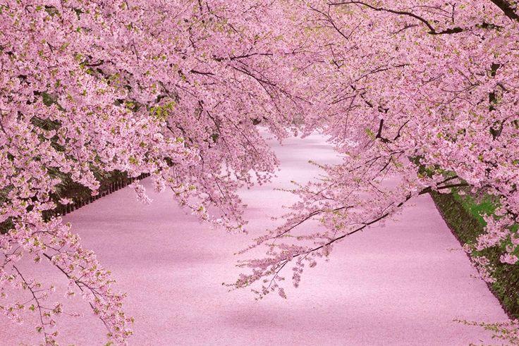 日本の桜の名所・弘前公園_海外の反応